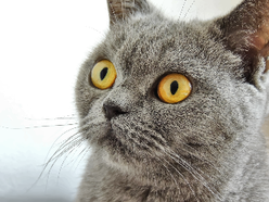 A photograph of a wide-eyed grey cat with yellow eyes.